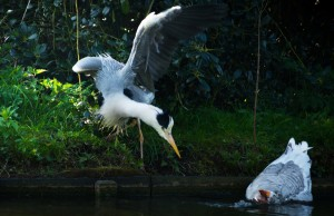 Heron-scares-goose-free-license-CC0